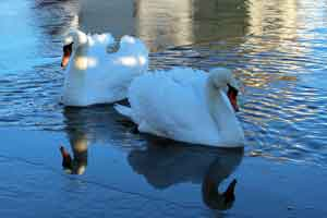 Swans at Country Lane Amish farm stay