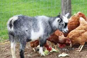 Amish farm animals