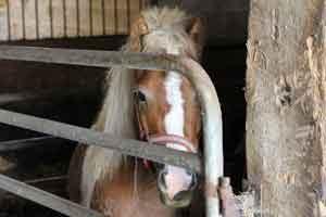 farm pony